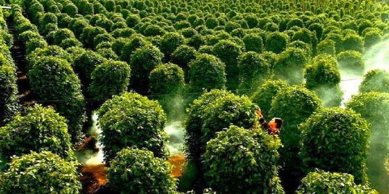 Hồ Tiêu Phú Quốc