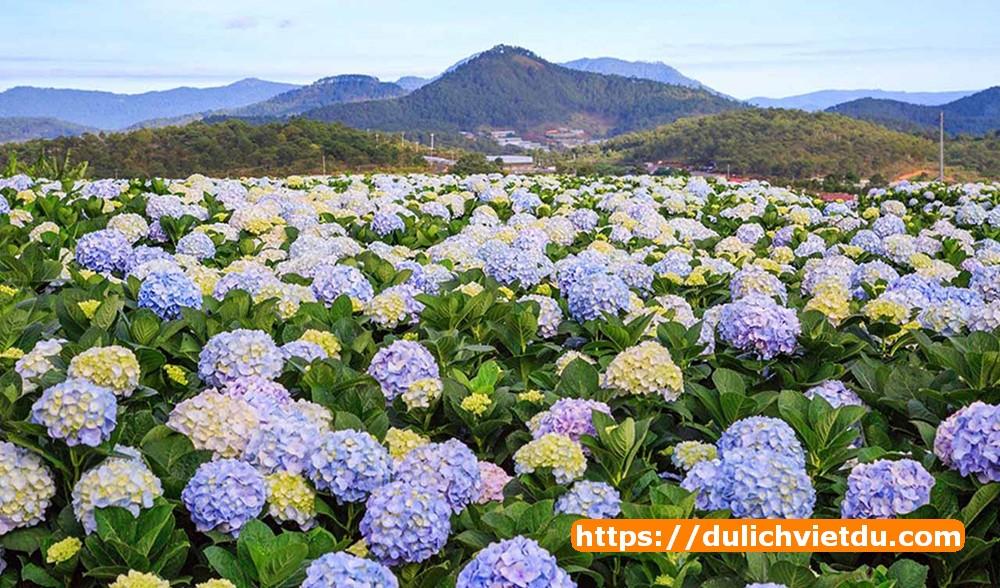 cánh đồng hoa Cẩm Tú