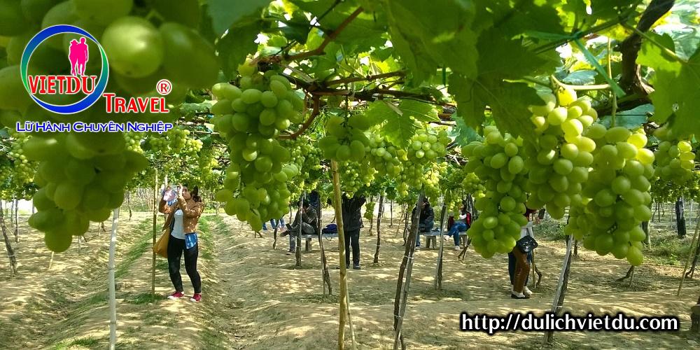 Tham quan Vườn Nho Ninh Thuận